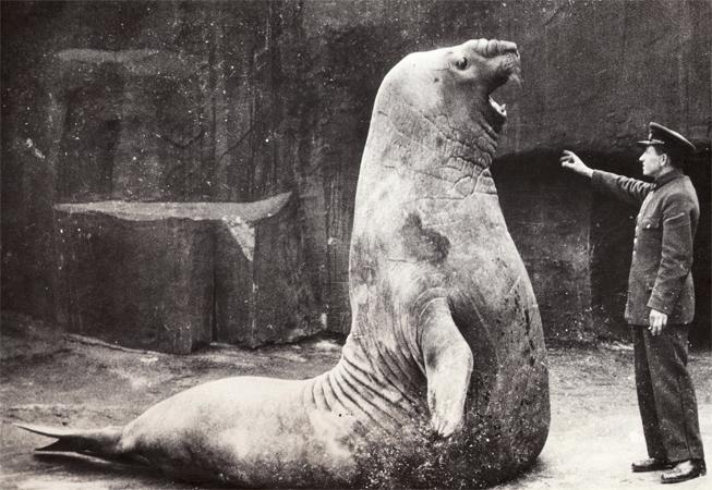 Морской слоник в старые времена