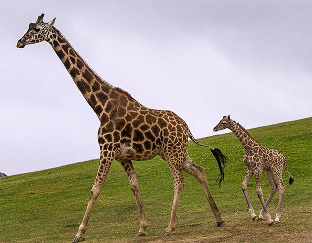Двое жирафов
