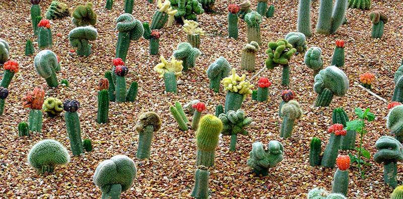Кактусы в поле