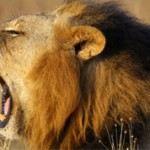 Интересные факты о львах (с фото)
