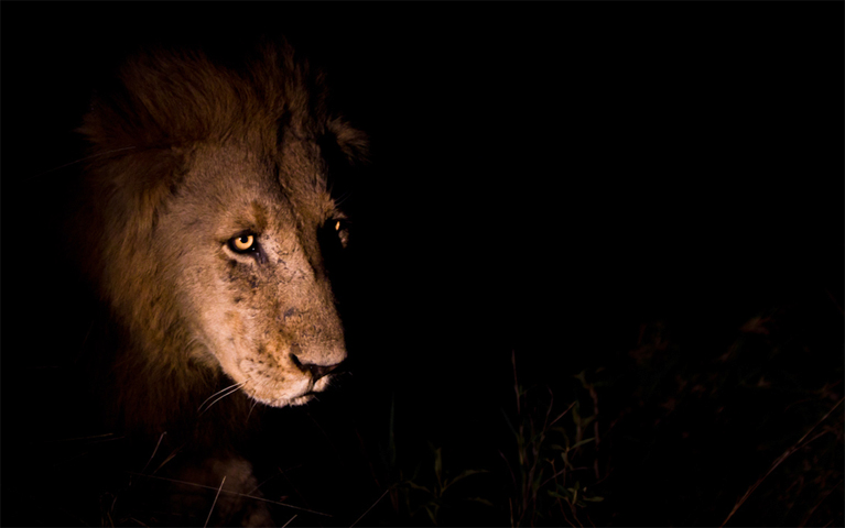 Лев ночью