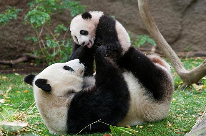 Мама панда с ребенком