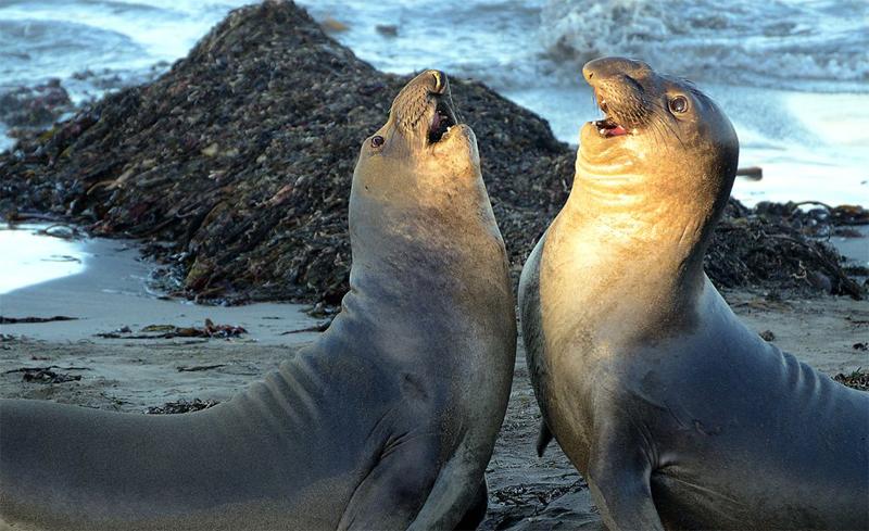 Морские слоники