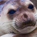 Интересные факты о тюленях (с фото)