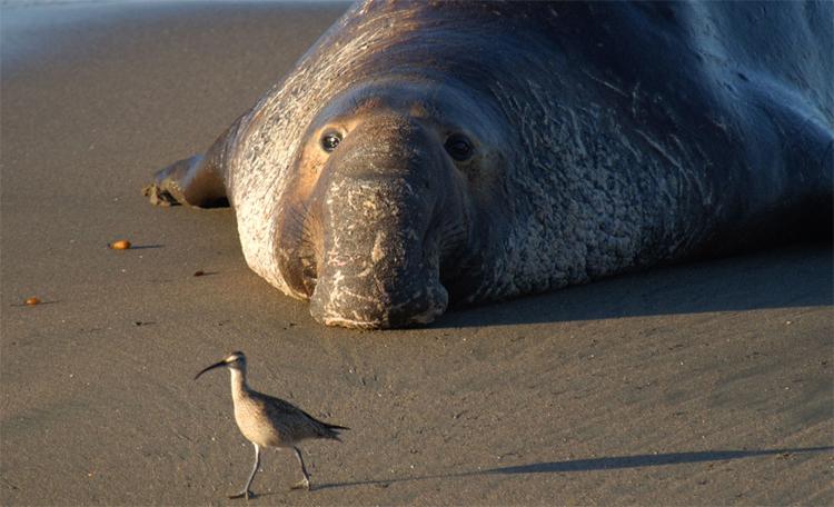 Морской слон лежит
