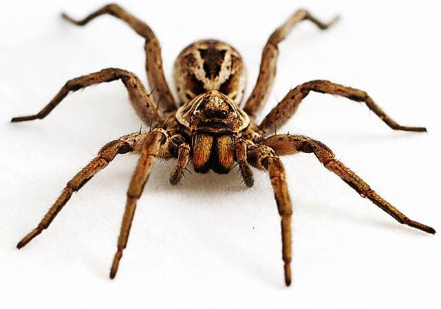 Внешность паука