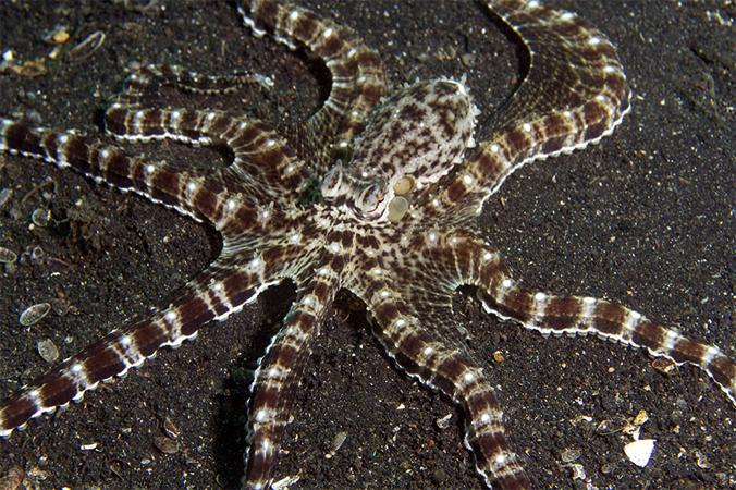 Thaumoctopus mimicu