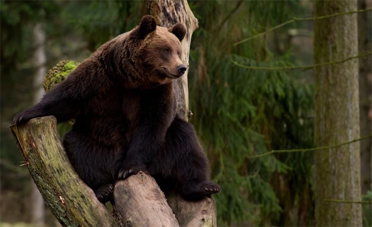 Медведь в тайге