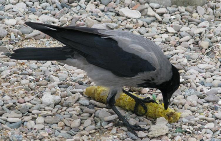 Ворона кушает