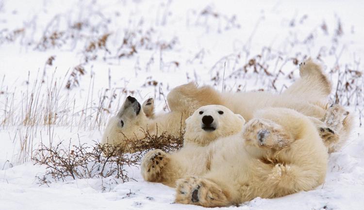 Белый медведь чистится