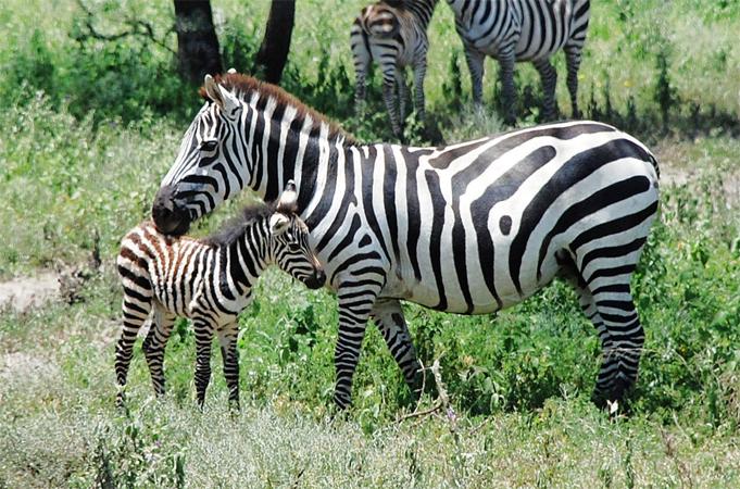 Зебра с ребенком