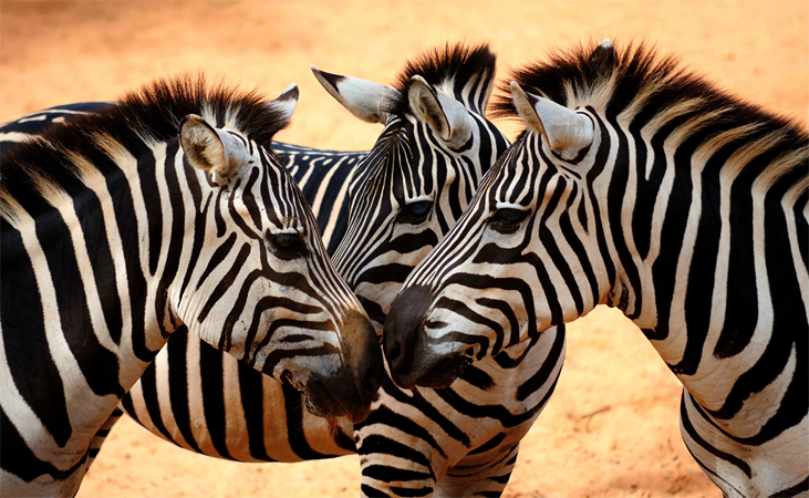 3 зебры