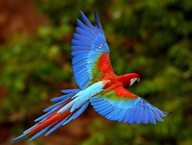 Попугай летит