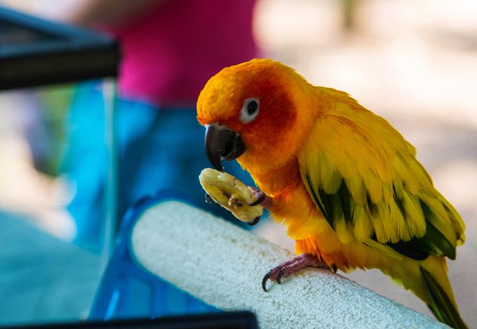 Попугай держит еду в лапке