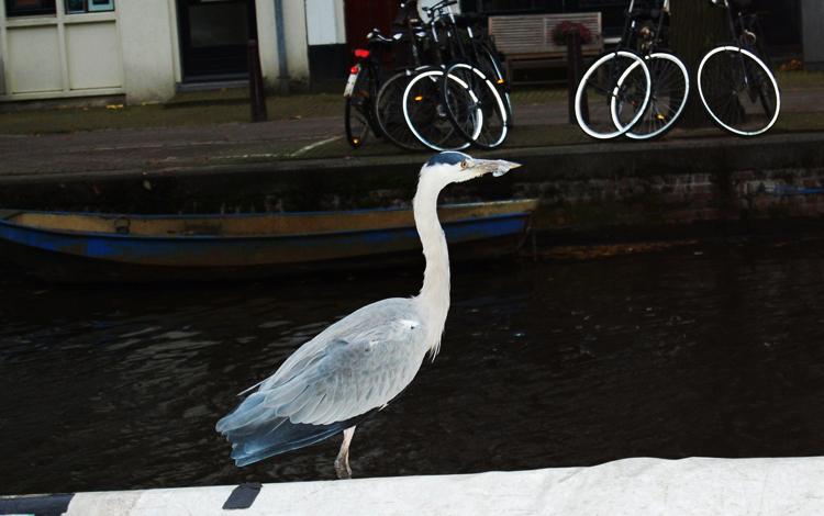 Цапля в Амстердаме