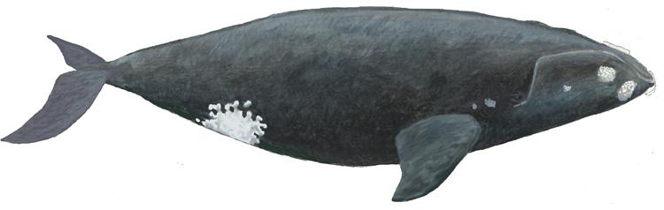 Южный гладкий кит