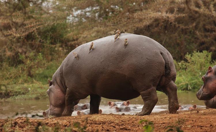 Носорог и волоклюи