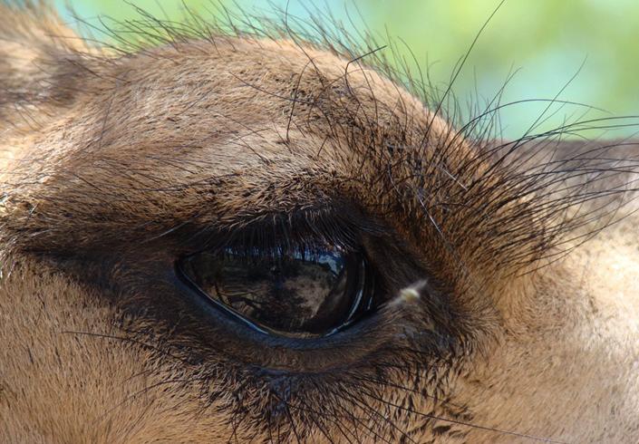 Глаз верблюда