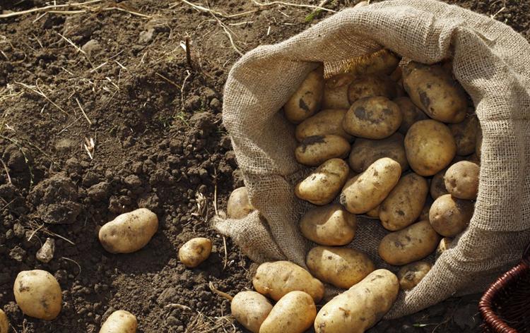 Картошка в России