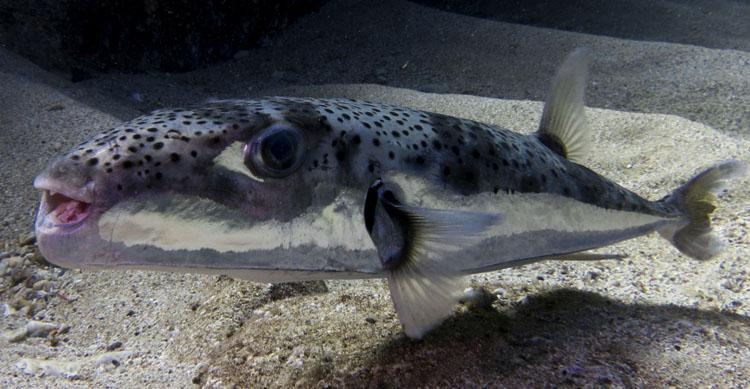 Рыба серебряный паровоз