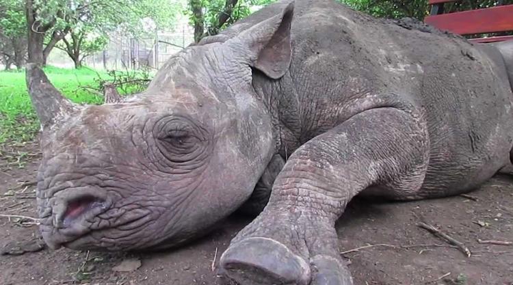 Носорог спит