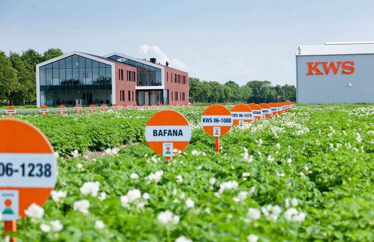 Поле картошки в Нидерландах