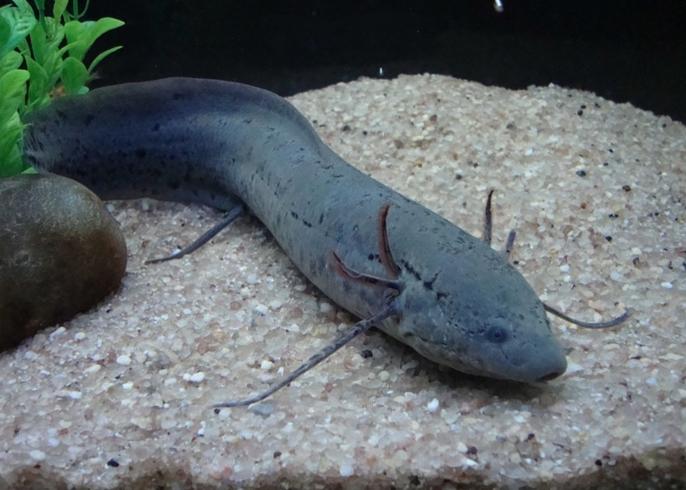 Африканская рыба протоптер