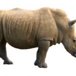 Интересные данные и факты про носорогов