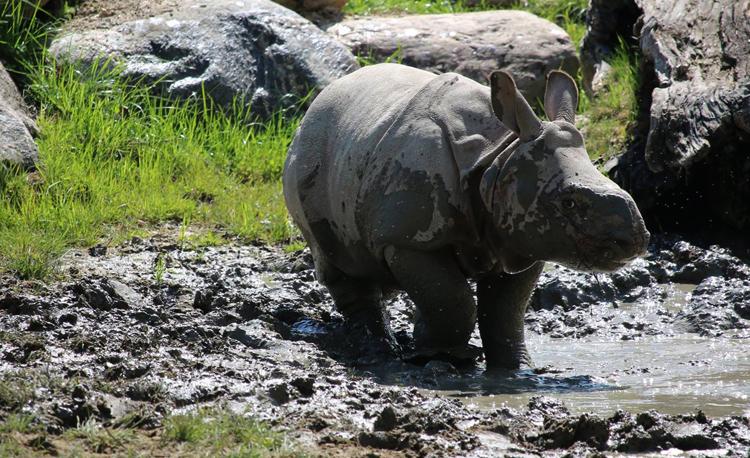 Носорог в грязи