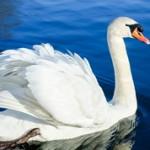Самые интересные факты о лебедях