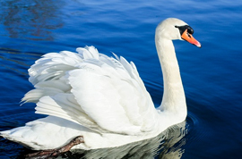 swan22