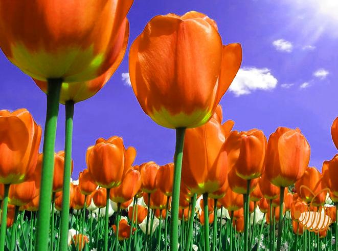Тюльпаны растут