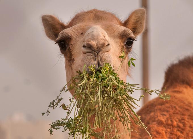 Верблюд кушает