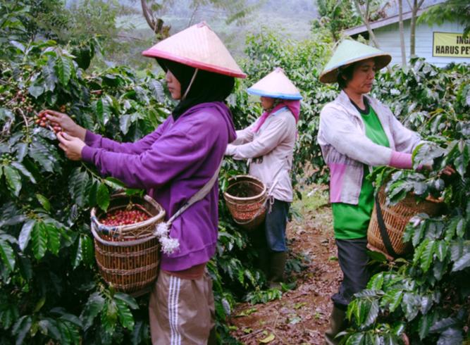 Кофе в Индонезии
