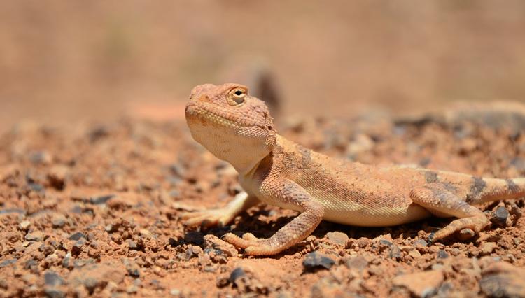 Ящерица в пустыне