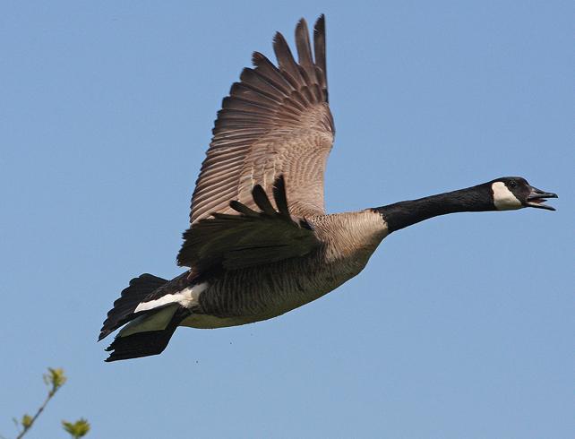 Полет гуся