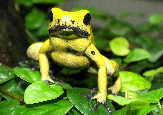 Ядовитая африканская лягушка