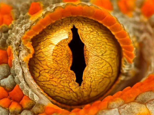 Глаз ящерицы