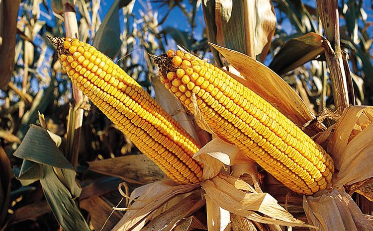 Кукуруза в России