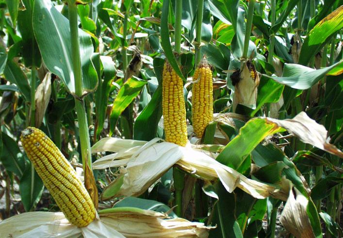 Кукуруза в Индии