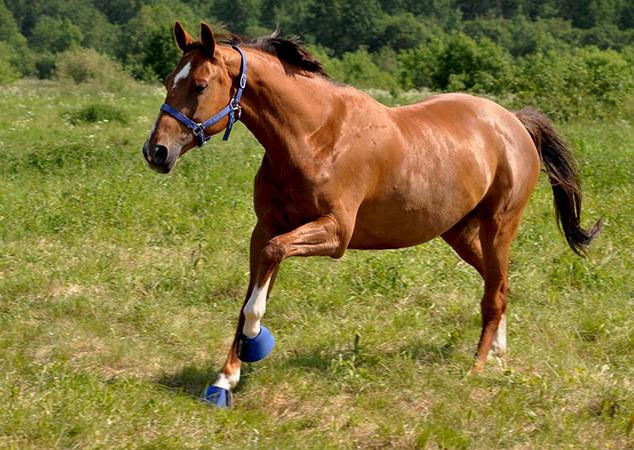 Ганноверская лошадь