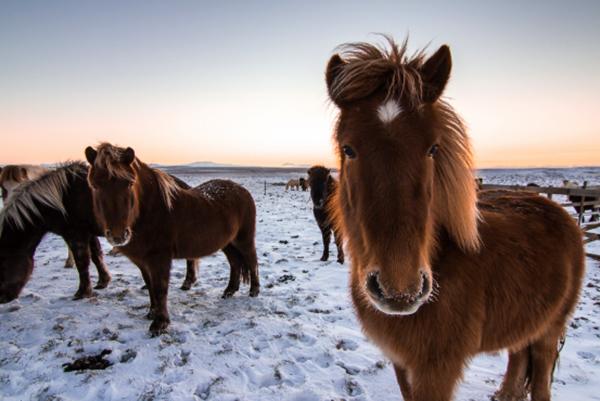 Лошади Исландии