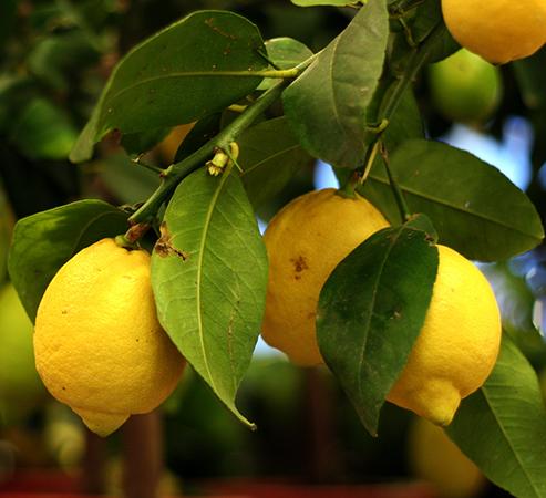 Лимоны растут