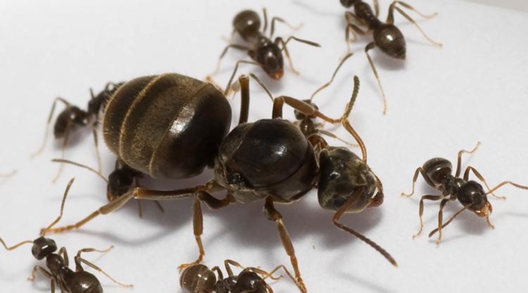 Матка муравья