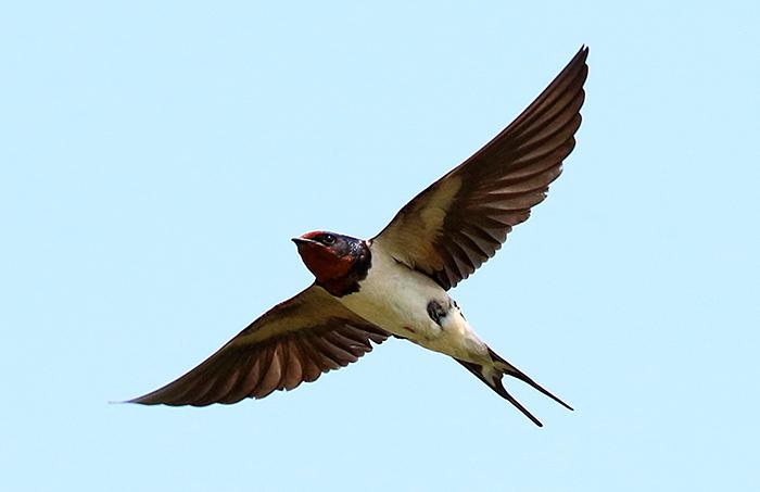 Высоко летящая ласточка