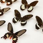 Интересные факты и данные о бабочках
