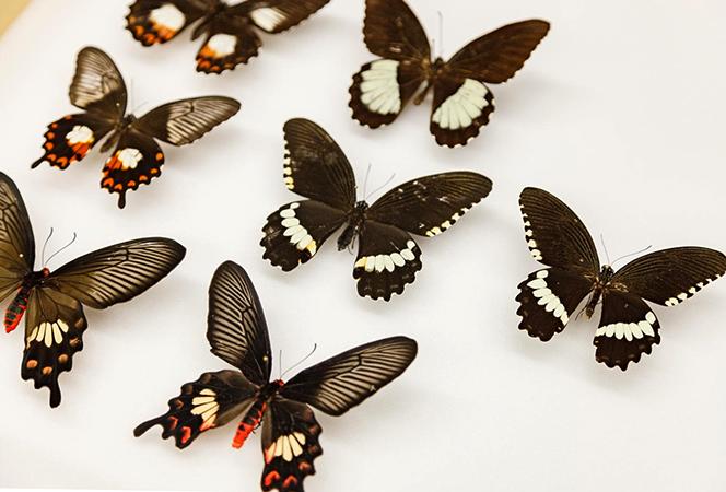 Экземпляры бабочек