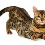 Факты о бенгальских кошках