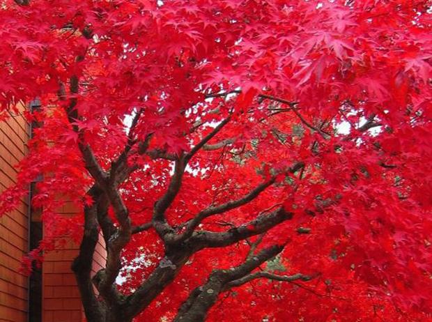 Канадский красный клен