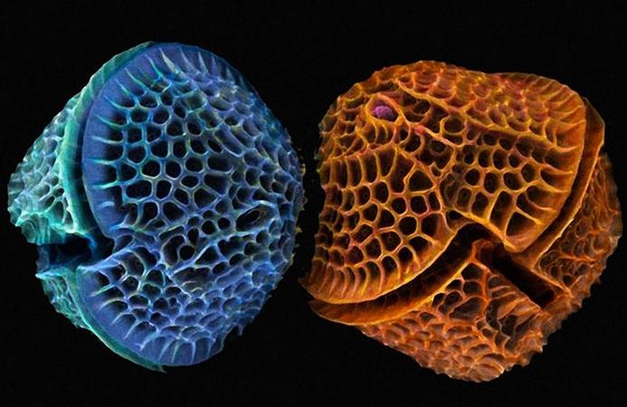 Диатомовые водоросли или диатомеи